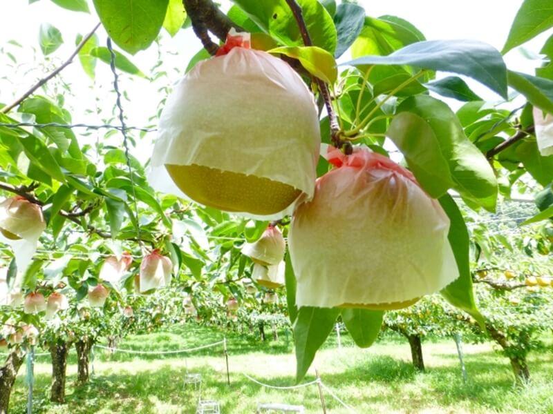 梨(なし)の種類と品種
